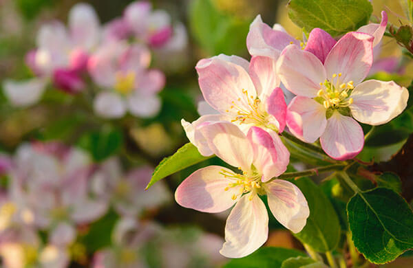Farm to Fork Apple Blossoms